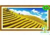 5D PC028 - Ruộng Bậc Thang Mùa Lúa Chín